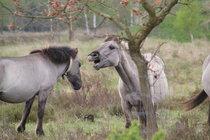 Konikpferde in der Oranienbaumer Heide